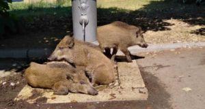Heatwave: Wild boar cool off under Rome fountain