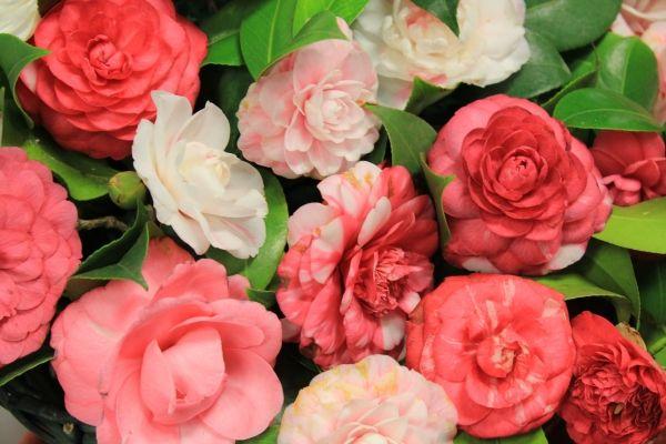 The secret camellia gardens of Velletri