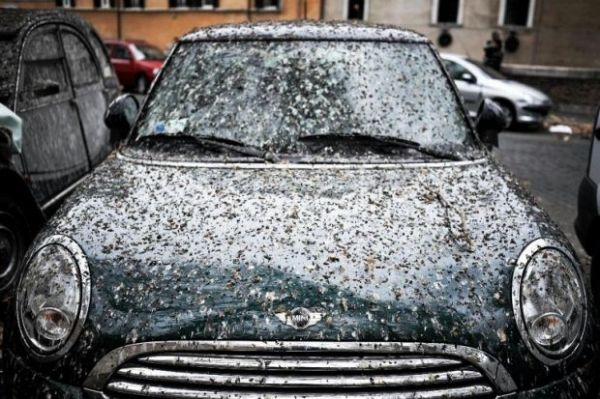 Rome's starlings under control