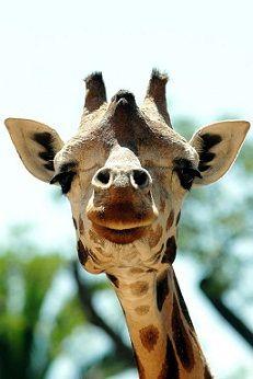 His Highness the Giraffe