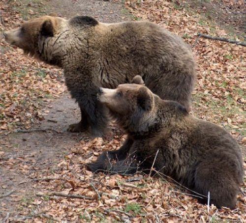 Brown bear run over in Abruzzo