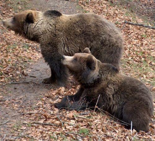 Brown bear run over in Abruzzo