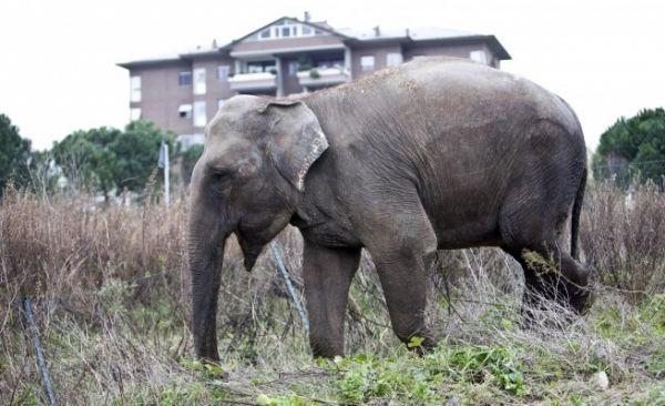 Runaway elephant in Rome