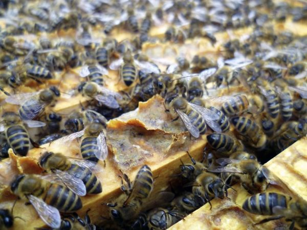 Bees for British Expo 2015