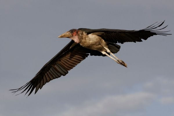 Marabou stork escapes from Rome's Biopark