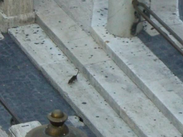 Rome's Trevi fountain overrun by rats