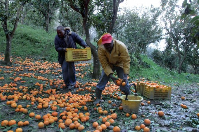 Many immigrants in southern Italy pass the winter picking oranges and other citrus fruits.