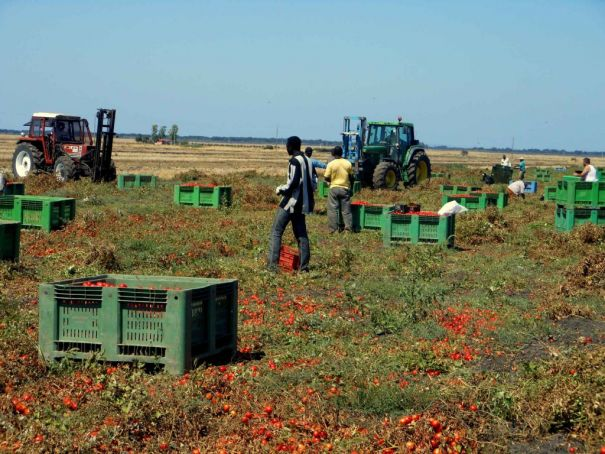 Migrant tomato pickers work long hours for little pay and often live in harsh conditions.