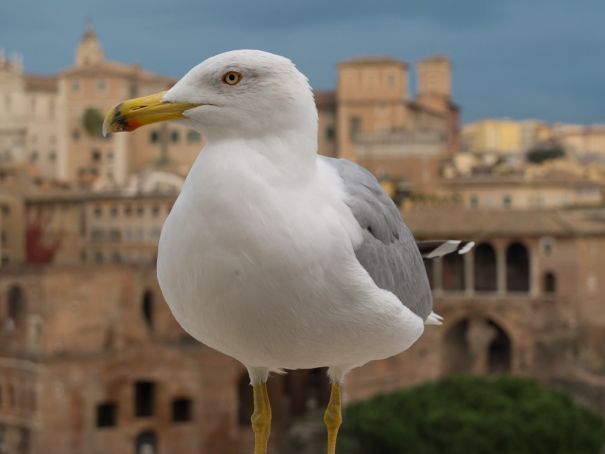 The yellow-legged gull is now a familiar sight in Rome.