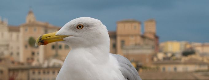 Seagulls swoop on Rome