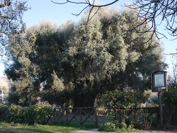 The olive oil tree at Canneto Sabino is believed to be more than 2,000 years old.
