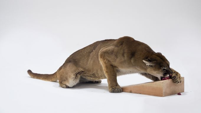 Charles Ray: Mountain Lion Attacking a Dog