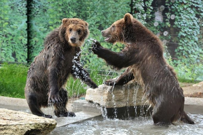 Rome's Bioparco welcomes three brown bear cubs