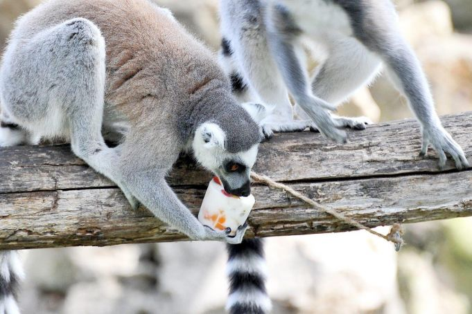 Rome's zoo animals cool off with frozen fruit