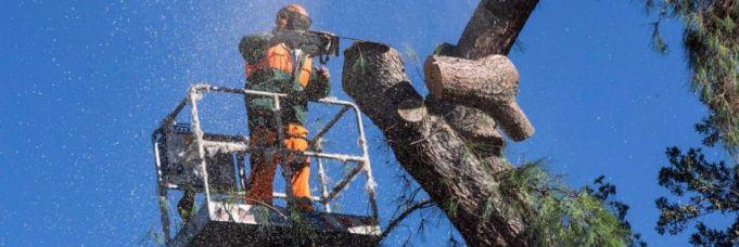 Rome mayor seeks to cut down city's pine trees