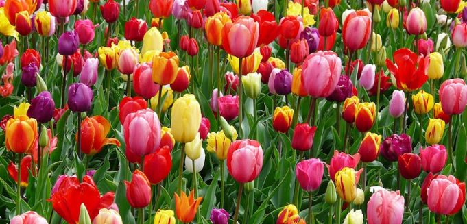 Rome's pick-your-own tulip park returns