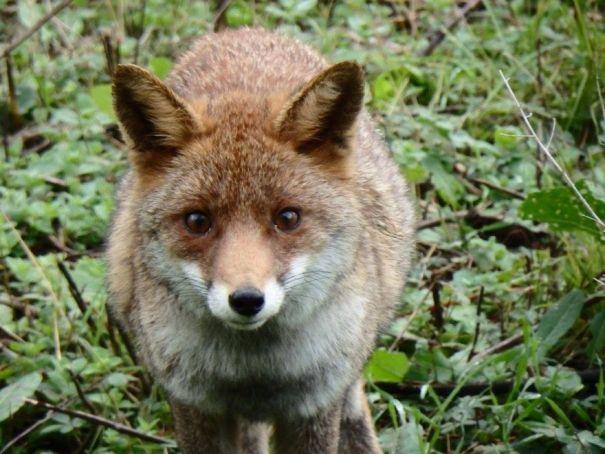 Dog kills Villa Pamphilj fox