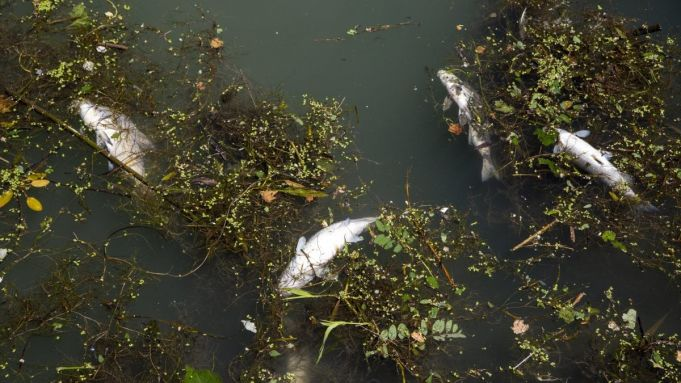 Why are so many fish dying in Rome's river Tiber?