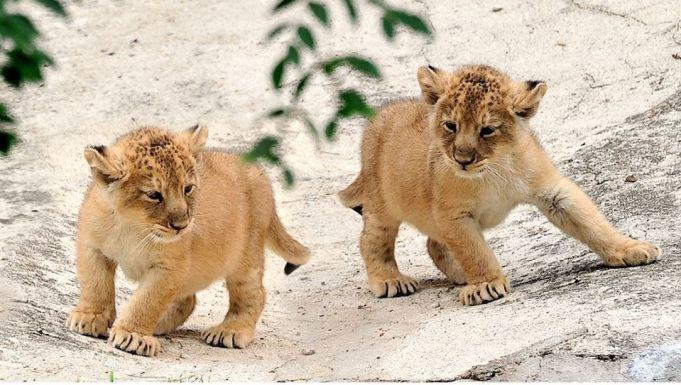 Rome zoo presents lion cubs born during lockdown