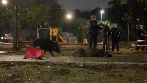Rome police kill family of wild boar in kids playground near Vatican