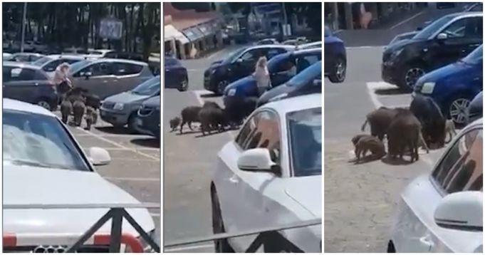 Wild boar steal woman's groceries outside supermarket near Rome