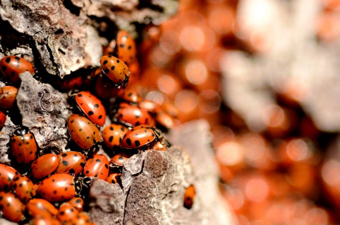 Can ladybirds save Rome's pine trees from killer parasite?