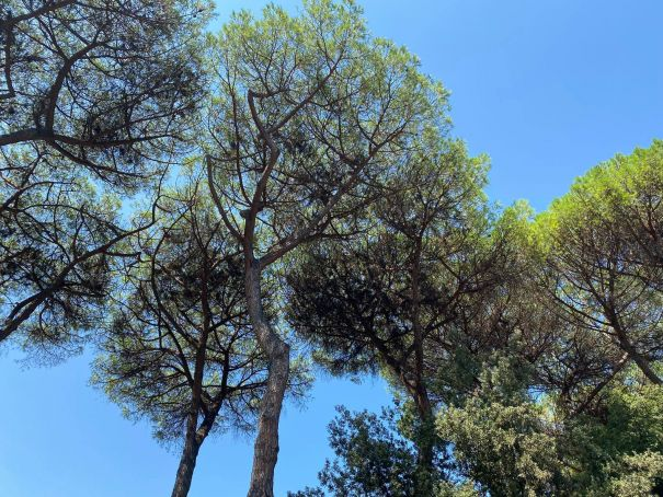 Rome's pine trees are dying as time runs out to save city skyline
