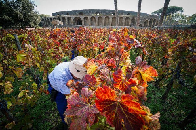 Pompeii grape harvest amid ancient Roman ruins