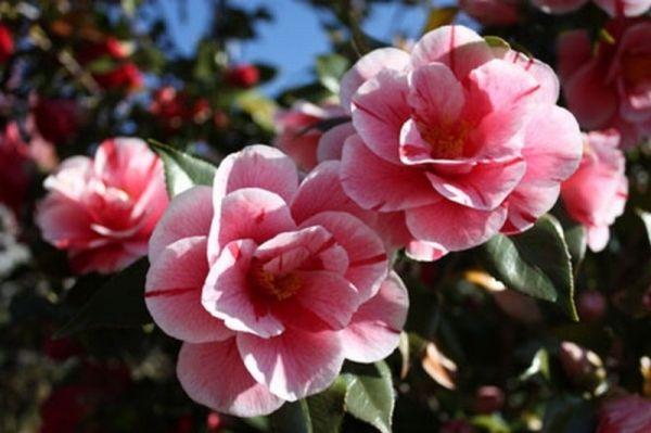 The secret camellia gardens of Velletri - image 3