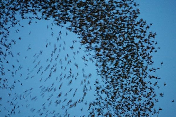 Rome's starlings under control - image 2