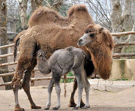 Amelia the baby camel - image 2