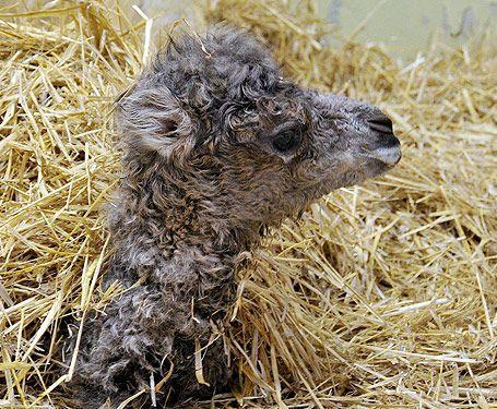 Amelia the baby camel - image 1