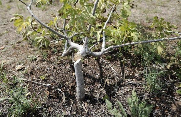 Vandals destroy 60 trees in Garbatella park - image 2