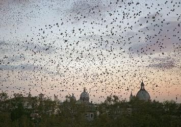 No funds to deal with Rome's starlings - image 3