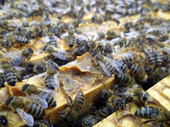 Bees for British Expo 2015 - image 1