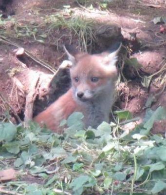 Fox cub on Rome's Nuovo Salario
