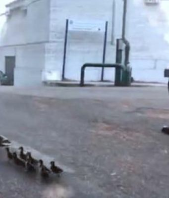 Rome traffic police guide ducklings to safety