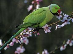 Rome's parakeets