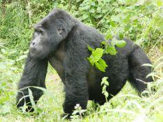 Gorilla trekking safari to Uganda