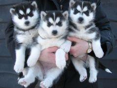 Adorabili cuccioli siberian husky per l'adozione