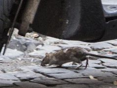 Rat emergency in Rome
