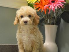 Beautiful Goldendoodle Puppies for sale