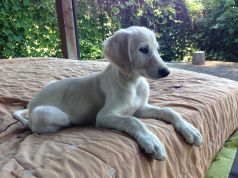 Beautiful, sweet Saluki puppies available