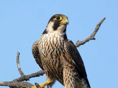 Peregrine Falcons return to Italian skies