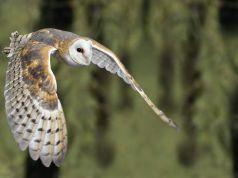Rome's wild owls