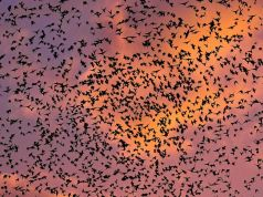 Rome sends in falcons to tackle city's starlings