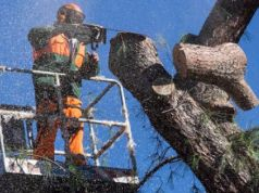 Rome mayor seeks to cut down city's pine trees