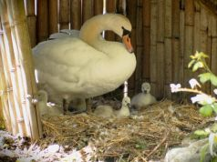 Ninfa Gardens welcome six baby cygnets