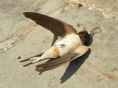 Swallows dying in Rome's cold spring