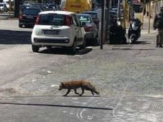 Fox spotted on Via Gregorio VII in Rome